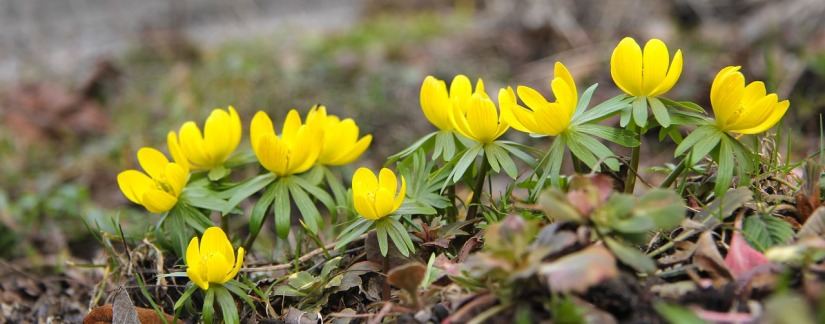 winter-aconite-720790_1280