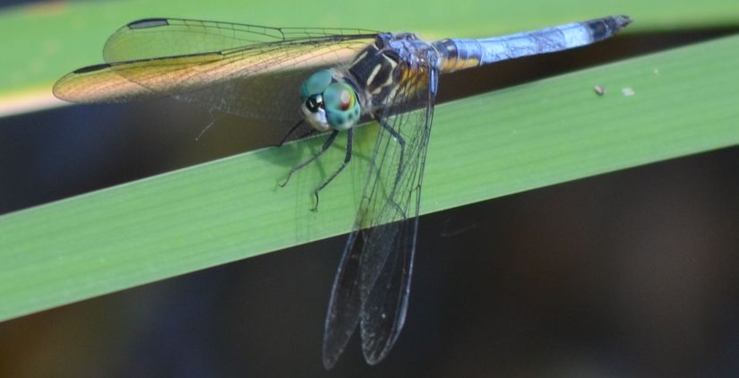 6-2-19 Burnet Woods Dragonfly (1)