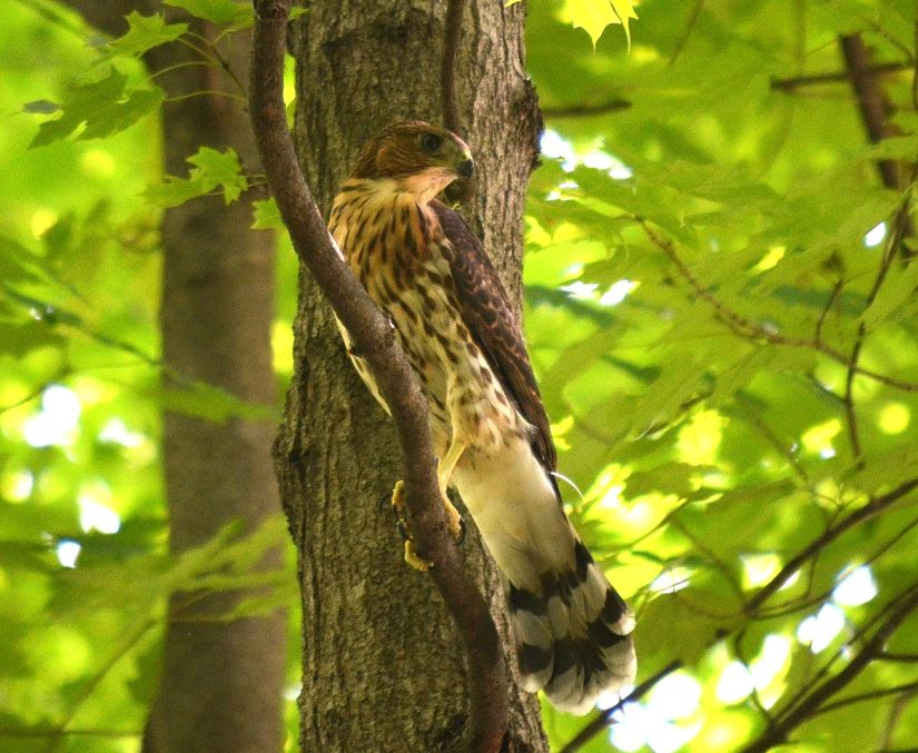 Cooper's Hawk Burnet Woods July 4 2019